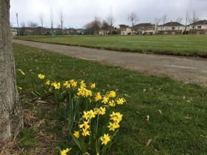 rra-daffodils-at-tree